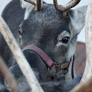 reindeer up close