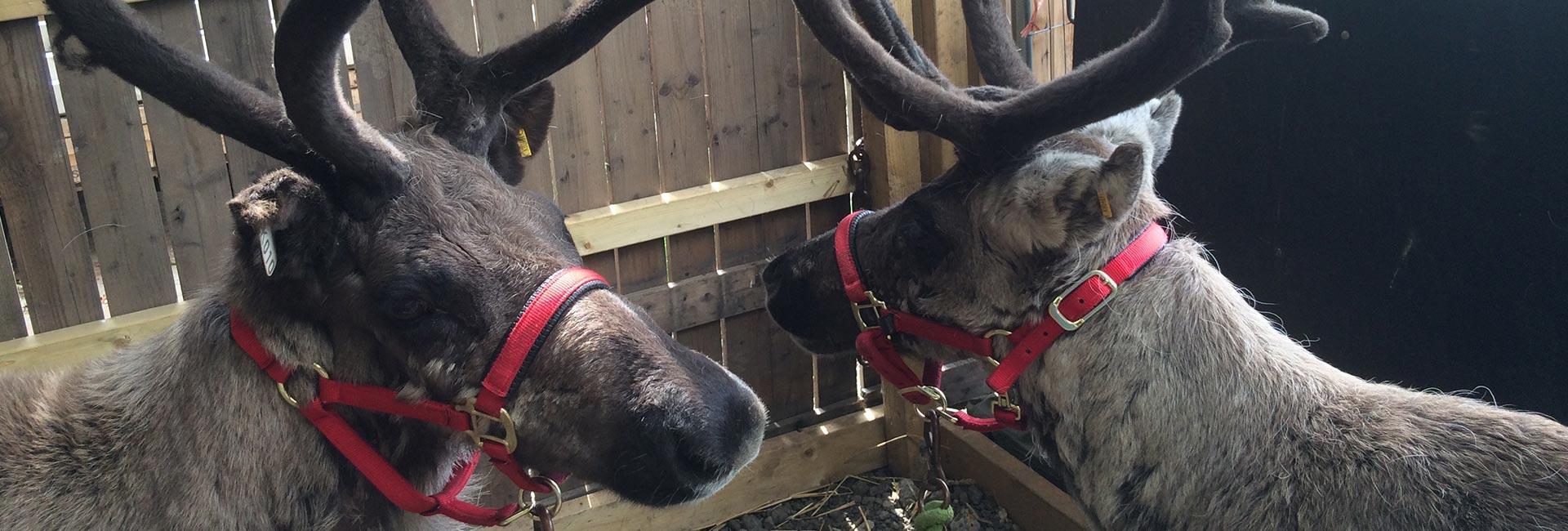 reindeers with head collars