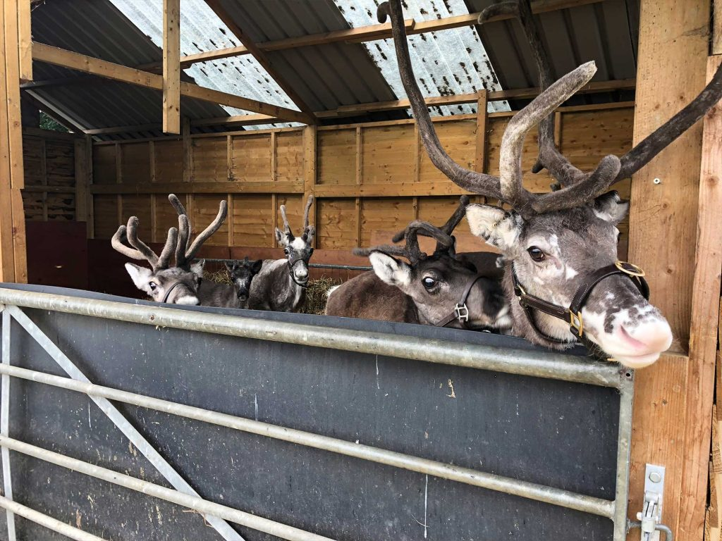reindeer in barn