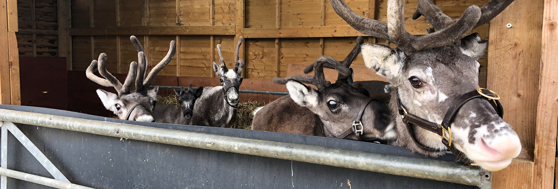 reindeer in barn